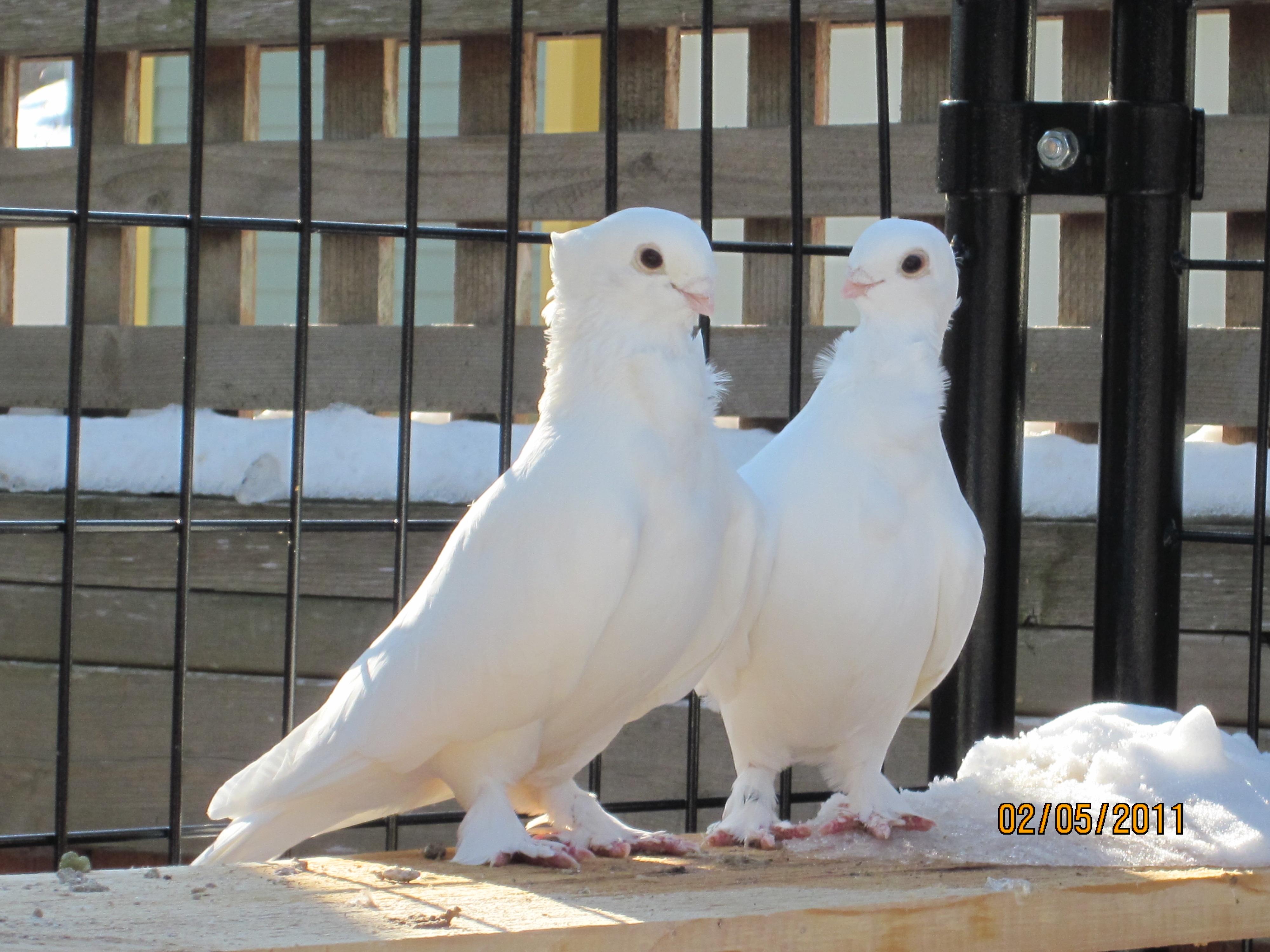 Голуби-лептотилы